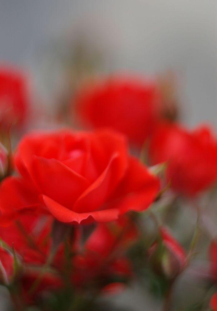 ミニ薔薇2
