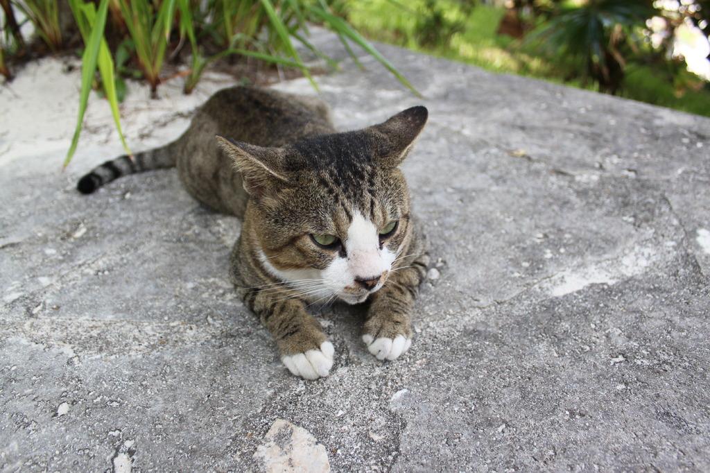 カビラの三毛猫