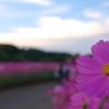 秋桜ロード