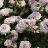 ばら バラ 薔薇