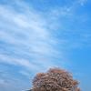 春空に一本桜