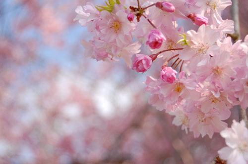 かわいい枝垂桜。