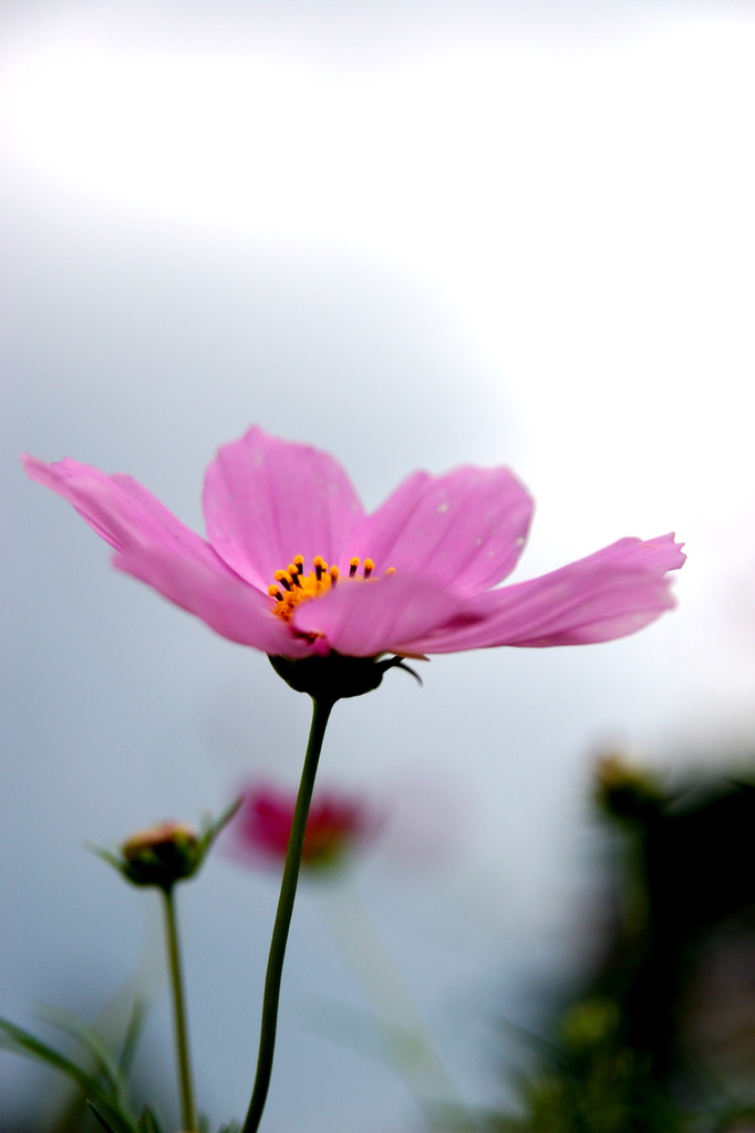 曇り空の似合う花。