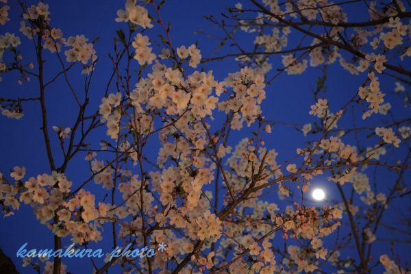 夜桜とお月見見物