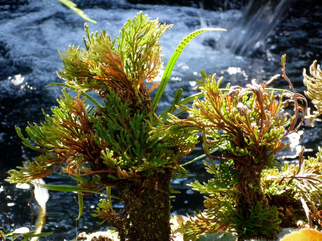 岩檜葉(イワヒバ)を光が包み込む