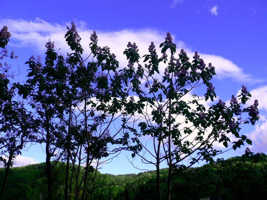 桐の木と花