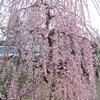しだれ梅in奈良