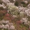 盛期前の花見山