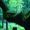 老木と新緑