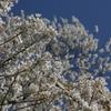 山桜が青空に映えています