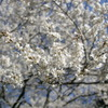 山桜がきれいです
