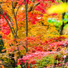 錦繍の秋 ⑧