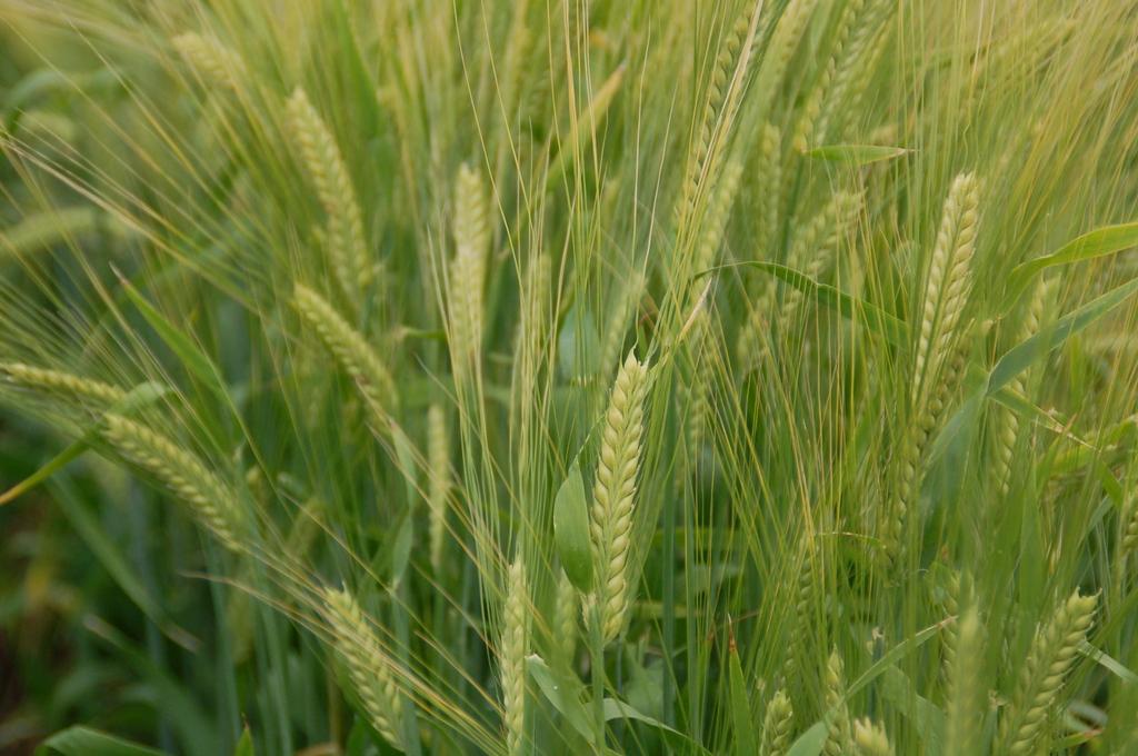 富良野にて 麦