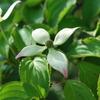 Benthamidia japonica