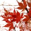 赤づいた葉