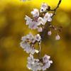 桜と金屏風