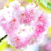ハート八重桜