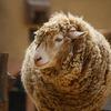 王子動物園の羊
