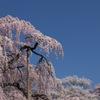競い咲く三春の桜