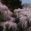 福寿寺枝垂桜