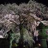安国寺しだれ桜