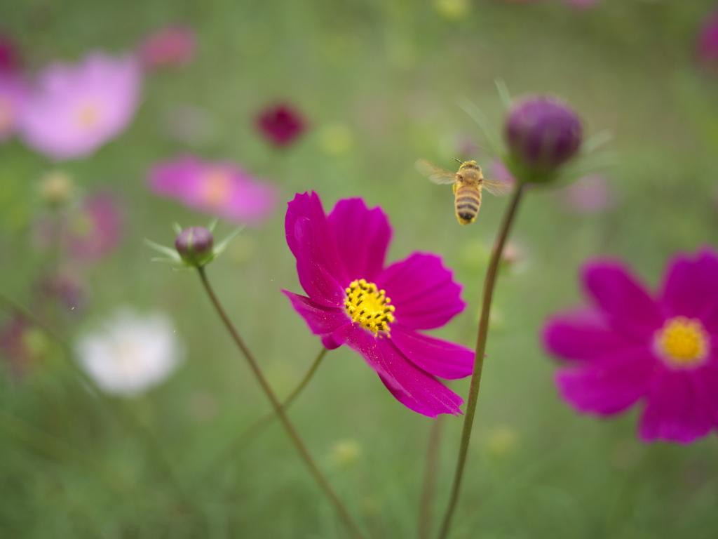 ハチとコスモス