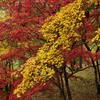黄葉紅葉重ね着