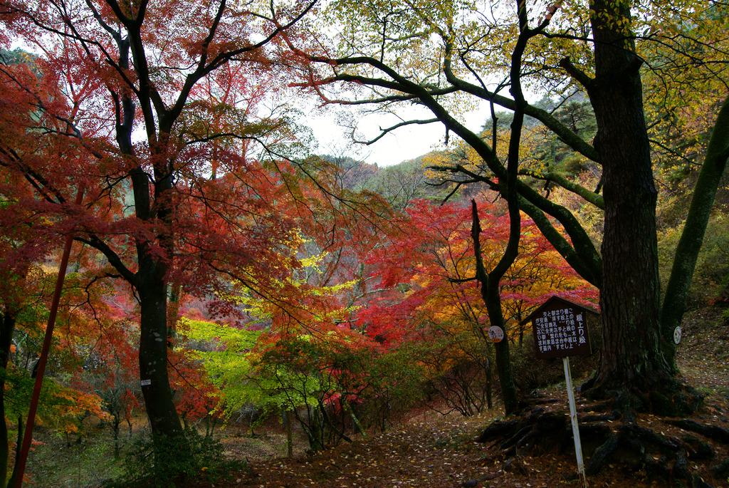 根上がり松と紅葉