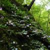 夢想滝遊歩道のイワギボウシ