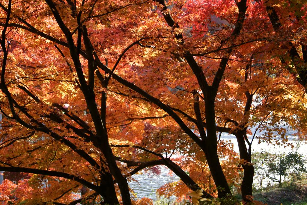 一面の紅葉と久慈川