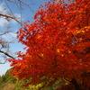 秋空に映ゆる紅