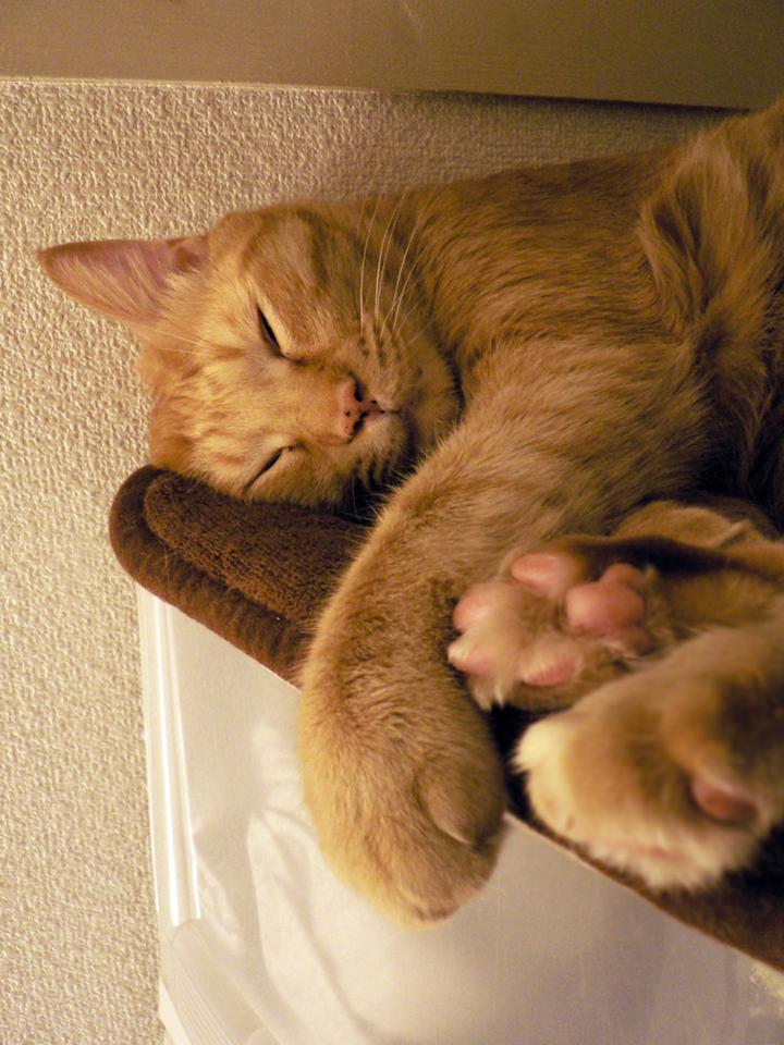 押入猫〜トラ