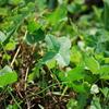 4つ葉のクローバ