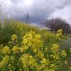 瀬戸川の菜の花