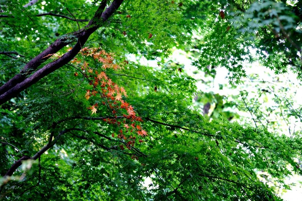 '早咲き'紅葉