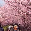 河津桜のトンネルの中、人で賑わう