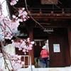 蓮光寺のしだれ桜