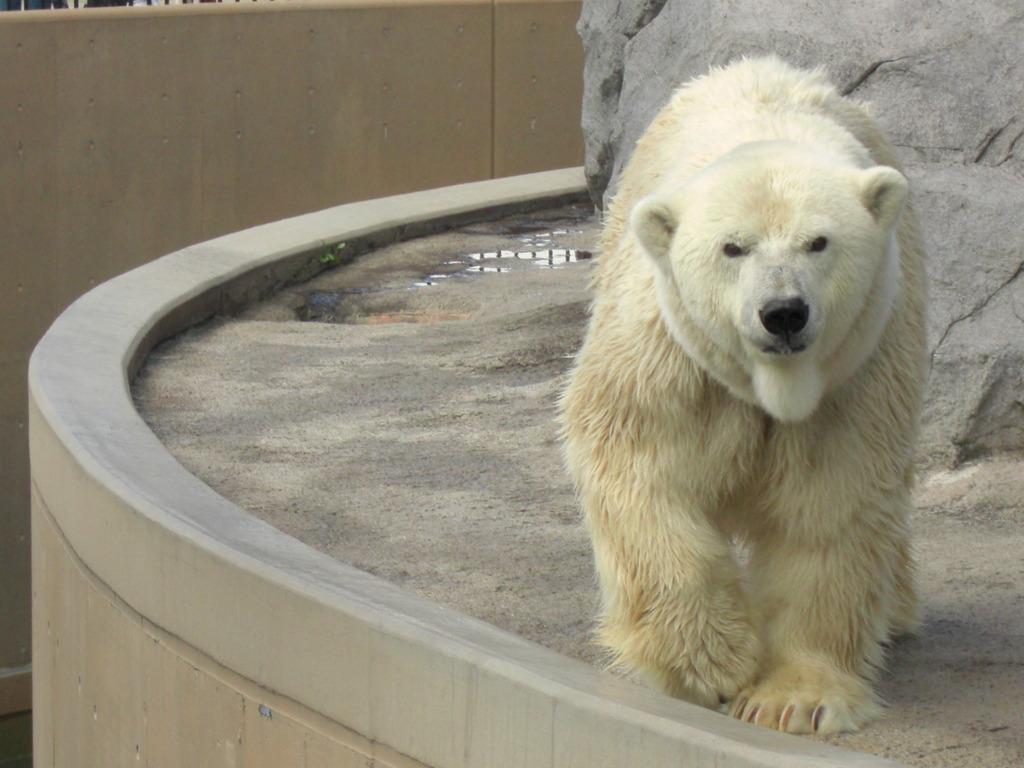 白くま@旭山動物園