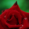 Queen Rose 赤いマント