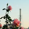 工場の薔薇