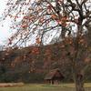 白川郷 納屋と柿木