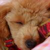 あさりちゃんの寝顔 1