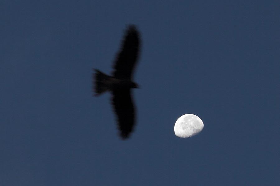ブラックカイトと月
