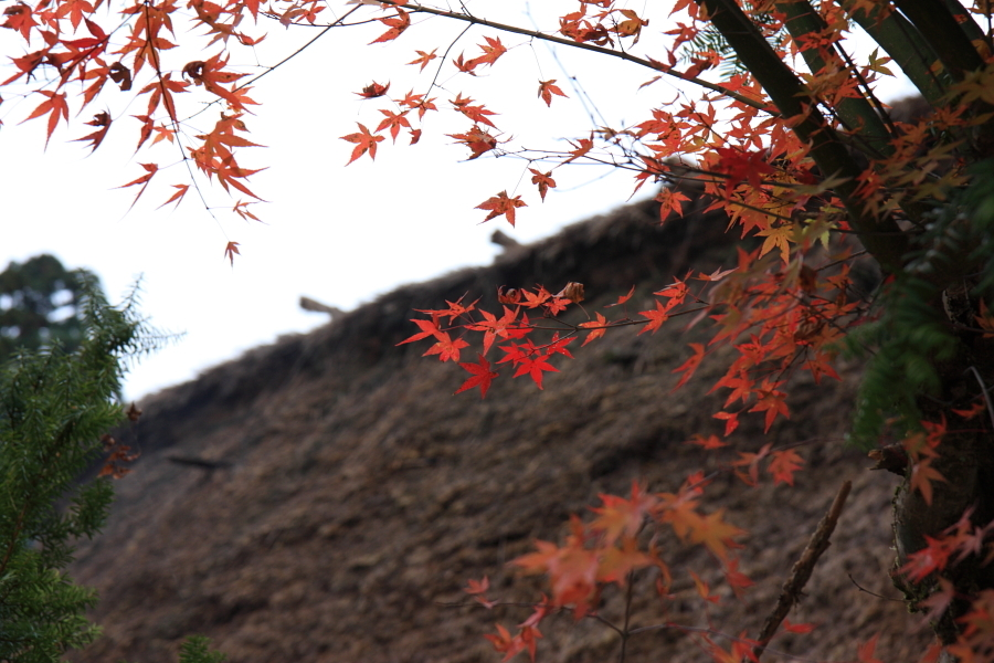 白川郷 茅葺き屋根と紅葉