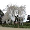 しだれ桜  奈良県 大野寺