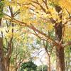 木の葉の落ちる時期  fall of the leaf ・・・