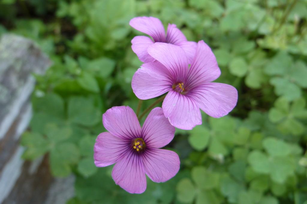 クローバーの花...?