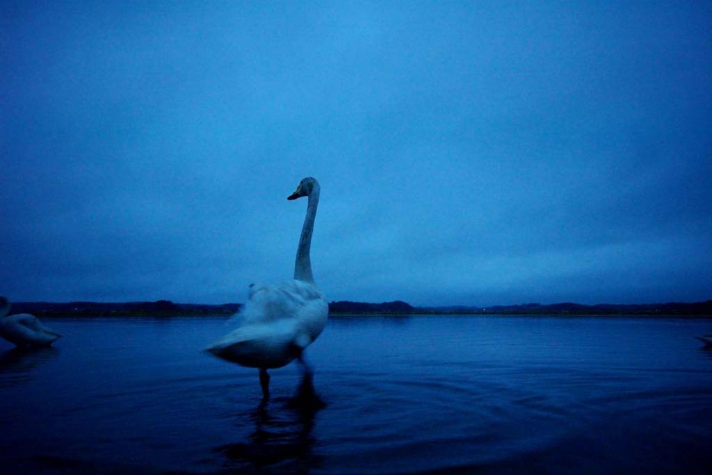 夕暮れの白鳥
