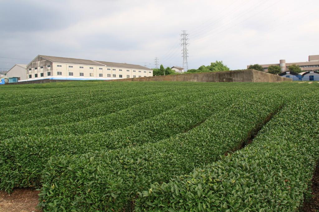 茶畑、曲線が大好きです