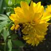 クマ蜂のくち